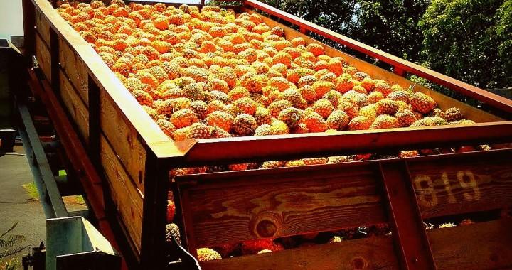 Ananasernte